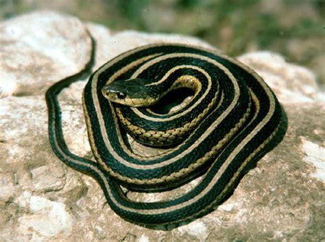 Garter Snake Facts 10 Interesting Garter Snake Facts My Interesting Facts
