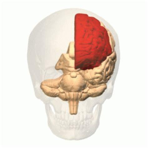 imagenes temporales tk lobo frontal wikip 233 dia a enciclop 233 dia livre