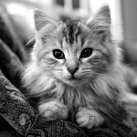cat hd wallpapers p  images