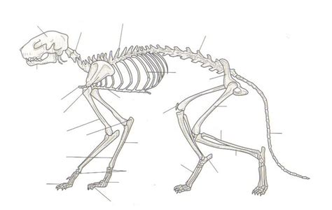 labeled cat skeleton diagram skeletal structure cheshire cat