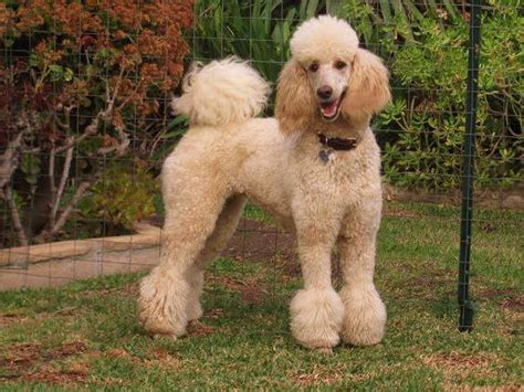 poodle top knot styles beyond shaved feet popular poodle cuts iheartdogs com
