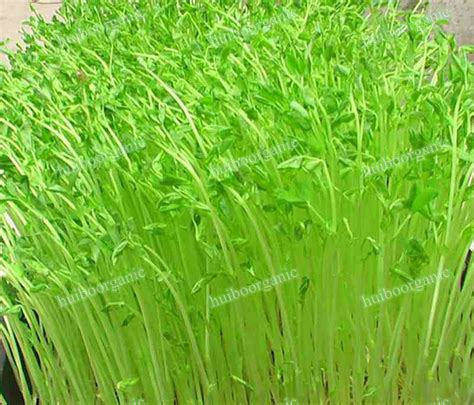 alfalfa images alfalfa grass www pixshark images galleries with a
