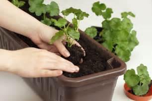 bis wann darf bã ume schneiden geranien vermehren