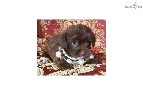 yorkie poo potty meet designer choc a yorkiepoo yorkie poo puppy for sale for 900 designer
