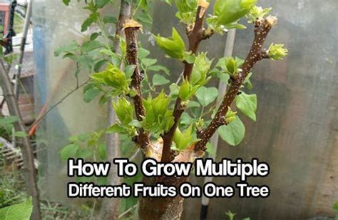 2 fruit trees in one how to grow different fruits on one tree one