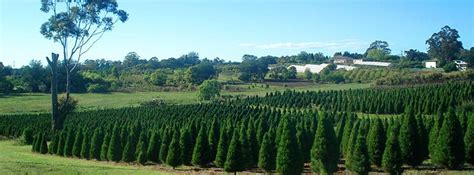 dural christmas tree farm sydney