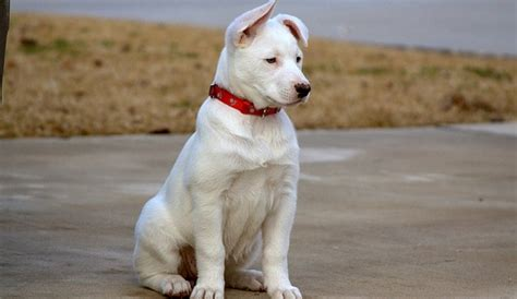 husky lab mix puppies husky lab mix siberian retriever the best of 2 breeds