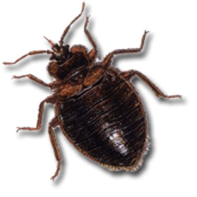 how large are bed bugs large bed bug transparent png stickpng