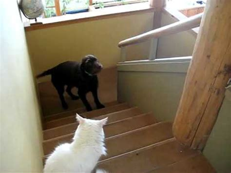 puppy refuses to walk cat scares doovi