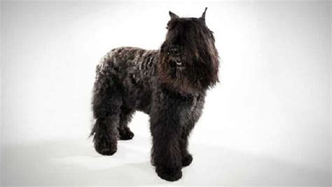 bouvier breed bouvier des flandres breed information facts pictures temperament and characteristics