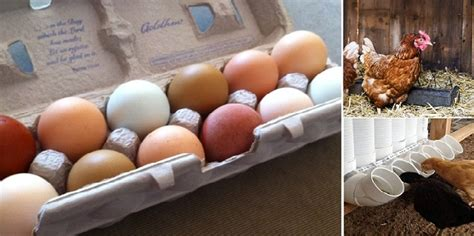 Backyard Chicken Eggs by 7 Tips For Keeping Backyard Chicken Eggs Safe To Eat