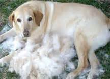 Labrador Shedding by The Post Haircut