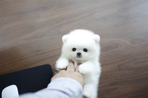 pomeranian puppies for sale in maine sassy miss sweetie just beautiful sold to maine boutique teacup puppies