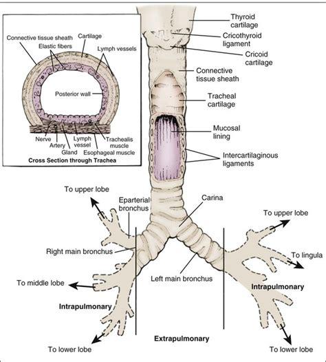 section 10b trachea anatomy cross section www pixshark com images