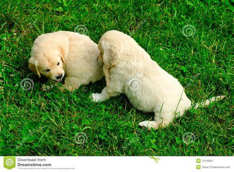 golden retriever grass golden retriever puppy in the grass royalty free stock photography image 15149357