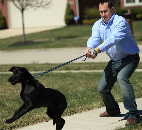 how to leash a puppy how to leash a learning to lead