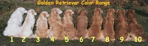 what color will my golden retriever be welcome to buckeye kennels where our family raises beautiful buckeye babies for your