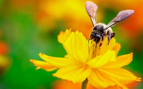 bee nectar flower hd desktop wallpapers 4k hd