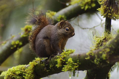the douglas squirrel tamiasciurus douglasii