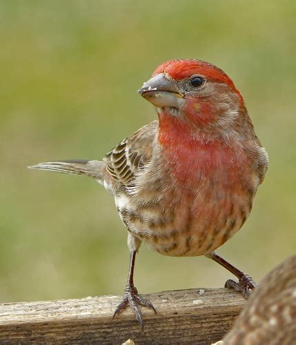 male house finch male house finch feederwatch
