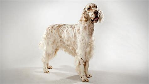 setter dogs 101 english setter dog breed selector animal planet