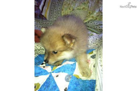 lavender pomeranian puppies for sale pomeranian puppy for sale near southeast ks kansas 6377e9e8 c701