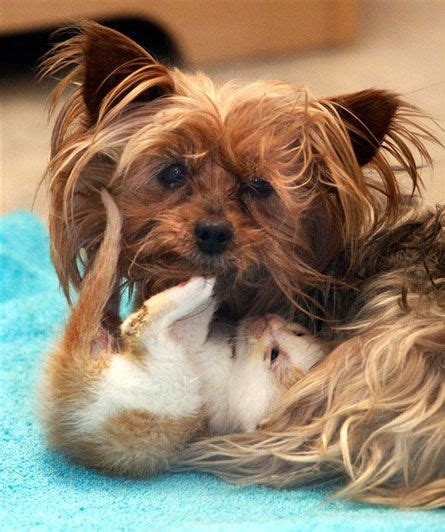 fosters tiny yorkies bridget a 10 year yorkie who is foster to five tiny kitties at utah s