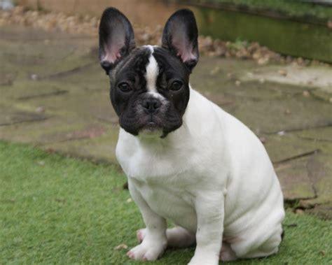 boston terrier mix puppies frenchton bulldog boston terrier mix info temperament puppies pictures