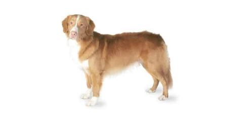 nova scotia duck tolling retriever dog breed information nova scotia duck tolling retriever breed information