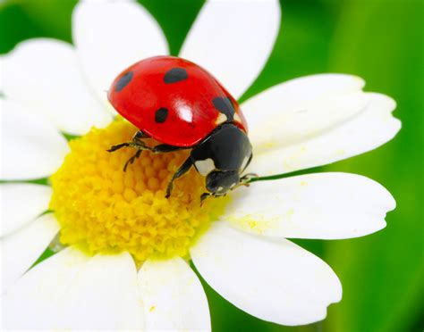 how to find ladybugs in your backyard attract ladybugs to get rid of garden pests ritter lumber