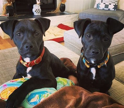 black lab pitbull mix puppy pitbull lab mix exciting facts every mixed breed lover should