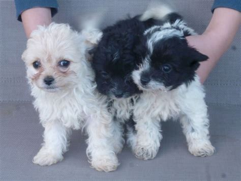 free maltipoo puppies maltipoo