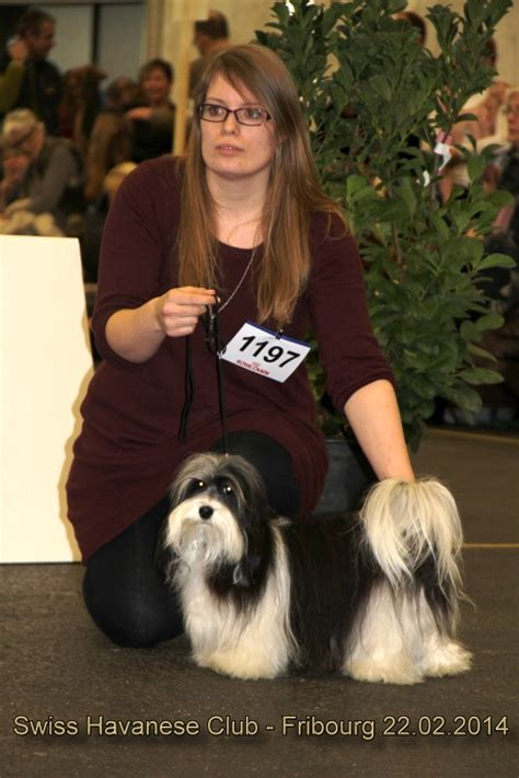 havanese club swiss havanese club expositions 2014