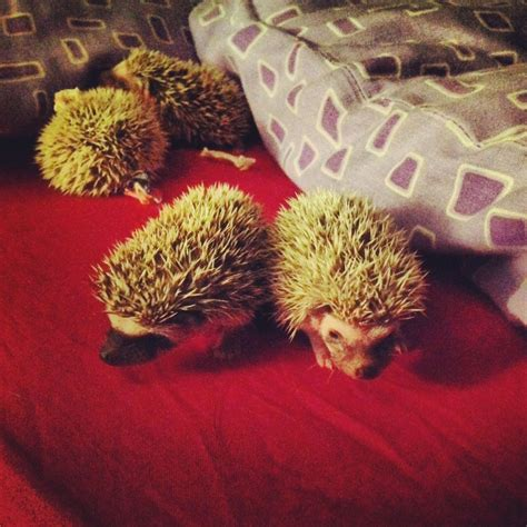 hedgehog for sale african pygmy hedgehogs for sale peterculter