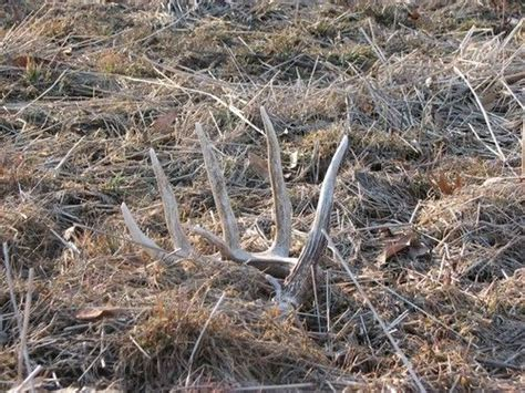 How To A To Find Deer Sheds by 17 Best Images About Antler Sheds On Horns