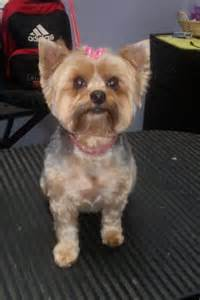 how to cut a yorkie s hair at home groomers bbs yorkie puppy cut quot faces quot