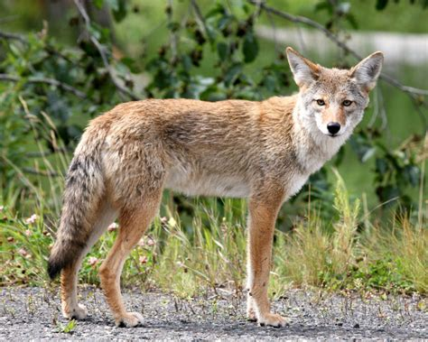 best coyote light 2016 top 44 coyote jackal animals images photos hd wallpapers