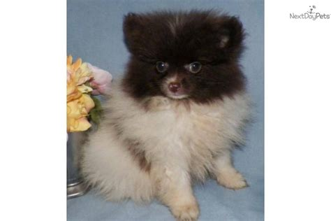 pomeranians for sale in syracuse ny pomeranian puppy for sale near syracuse new york 78c23812 fe21