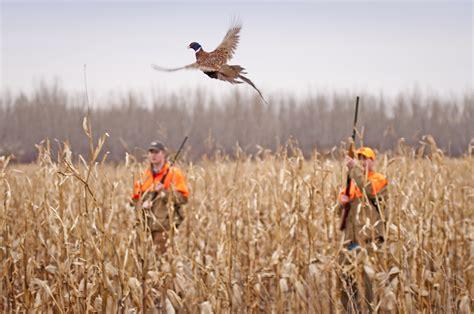 how to a to pheasant hunt turkeys vs pheasants
