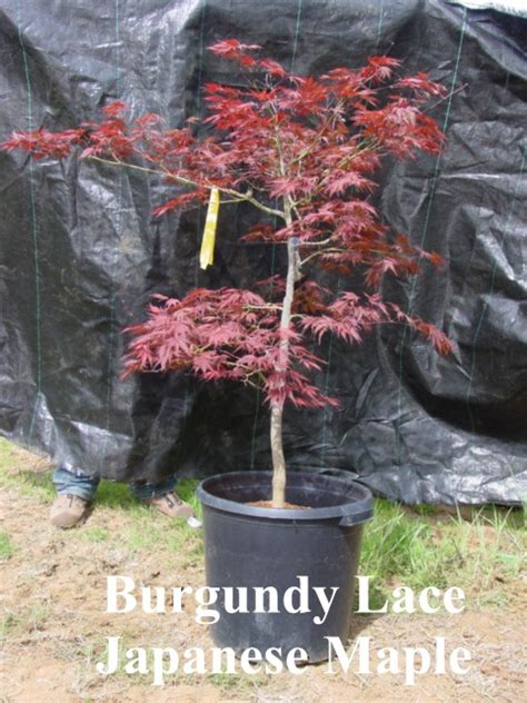 15 gallon maple tree a leaf less ordinary larger potted trees