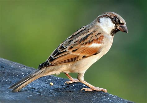 house sparrow bird britannica