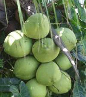 kelapa hijau kasiat dan cara penggunaannya problem khasiat tumbuhan herbal khasiat kelapa