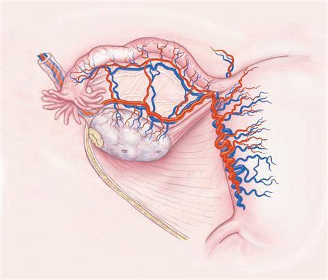 ovary diagram ovaries and uterus diagram newhairstylesformen2014