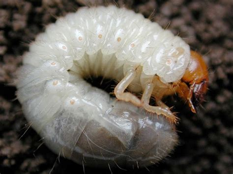 garden pests ontario insect nic specializes in canadian