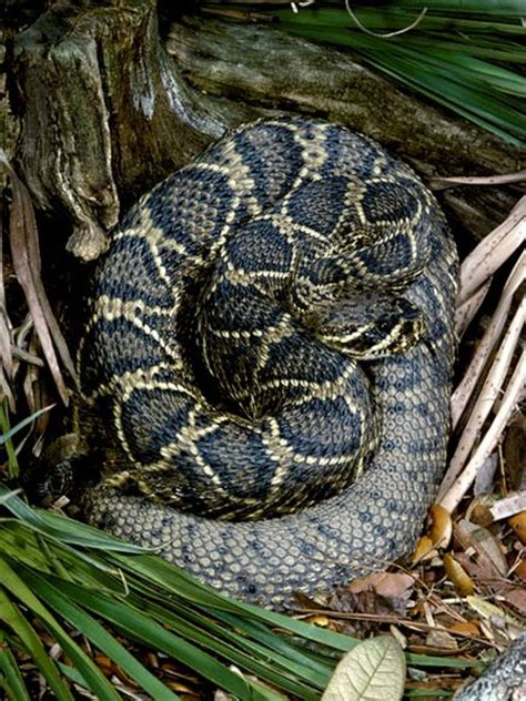 black and white diamond pattern snake what type of snake is black with a diamond like pattern on