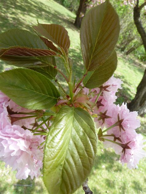 cherry tree leaves cherry trees in bloom boston the traveling naturalist