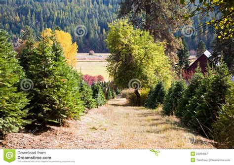 christmas tree farm royalty free stock photography image