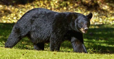 imagenes oso negro cuatro ejemplares de oso negro americano especie en