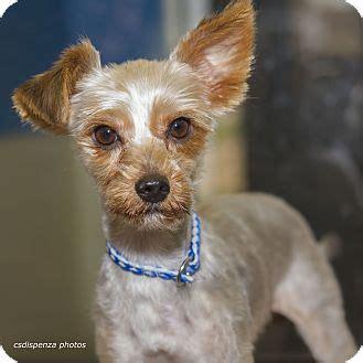 yorkie puppies for adoption in louisiana baton la yorkie terrier meet clark a for adoption
