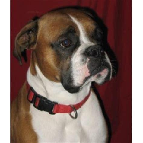 boxer puppies iowa collar boxers boxer breeder in burlington iowa